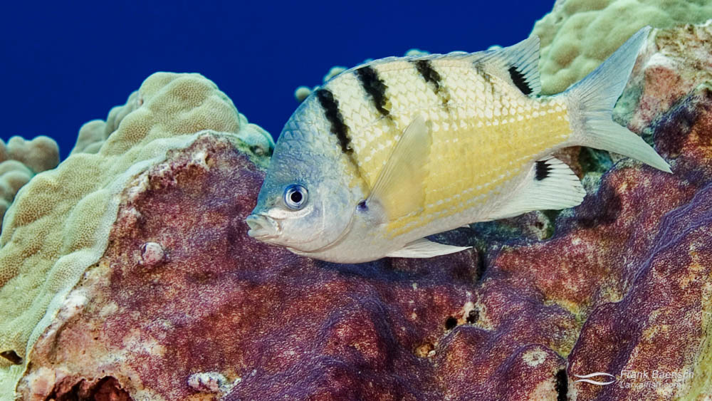 Adult Male Hawaiian Sergeant Damselfish (Abudefduf abdominalis) protecting its nest.
