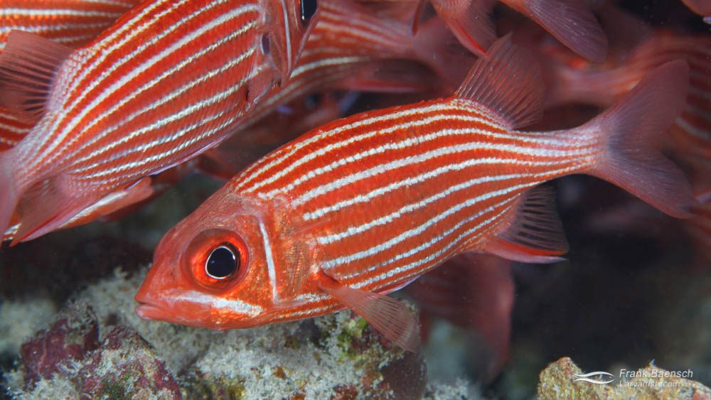 Adult Hawaiian squirrefish (Sargocentron xantherythrum) on the a reef in Hawaii.