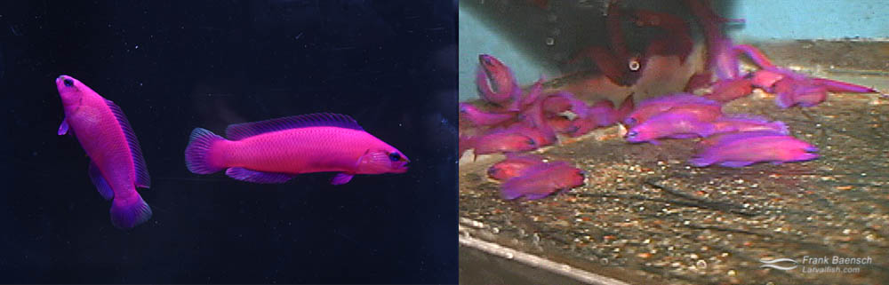 Left: A pair of orchid dottybacks (male on right). Right: 75-day-old orchid dottyback juveniles. (video grabs)