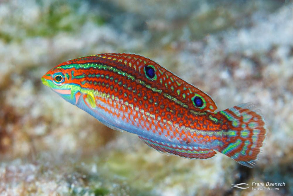 Female ornate wrasse (Halichoeres ornatissimus)(Hawaii).