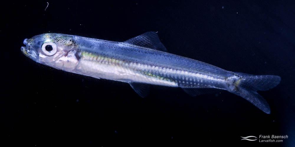 Cultured goldspot sardine larva (Herklostichthys quadrimaculatus).