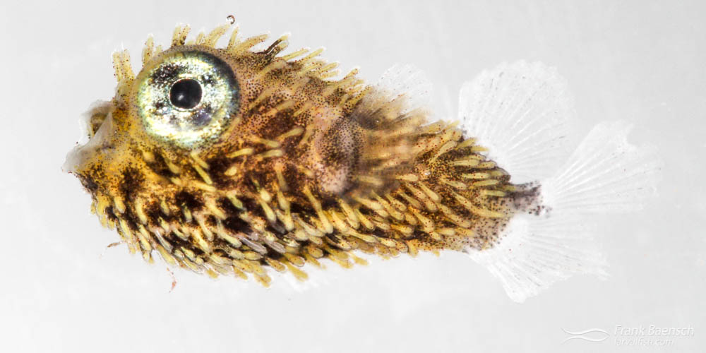 Cultured porcupinefish larva.