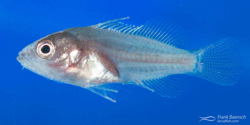 Grouper fish larva transforming into juvenile.