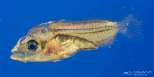 Cultured butterflfyfish larva.