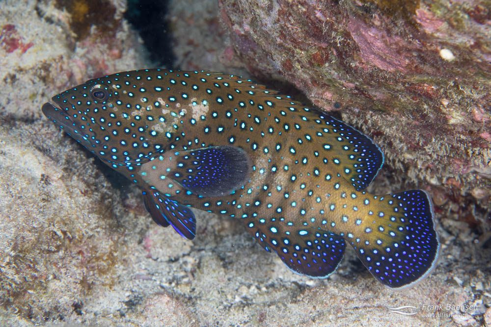 Bluespotted grouper (Cephalopholis argi) in Hawaii.