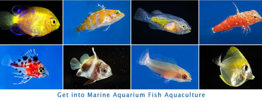 Learn about marine aquarium fish aquaculture and fish larvae