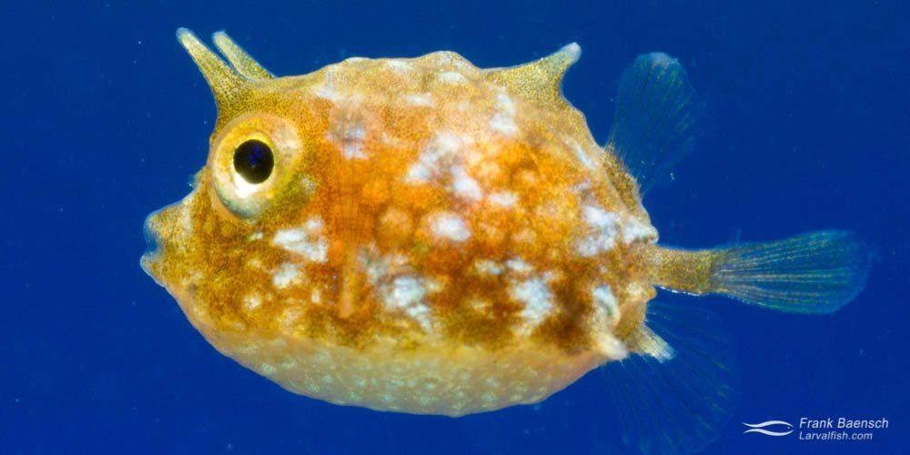Cultured thornback cowfish larva (Lactoria fornasini).