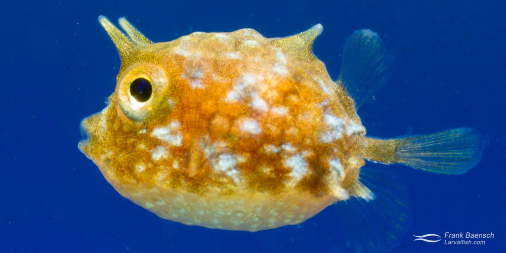 Cultured thornback cowfish larva (Lactoria fornasini).