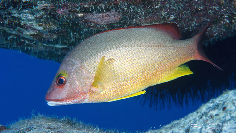 Adult Blacktail Snapper (Lutjanus fulvus) on a reef in Hawaii.