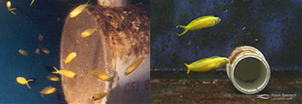 Left: Canary Blenny pair (male on bottom) with nest (in pipe). Right: 64-day-old canary blenny juveniles. (video grabs)