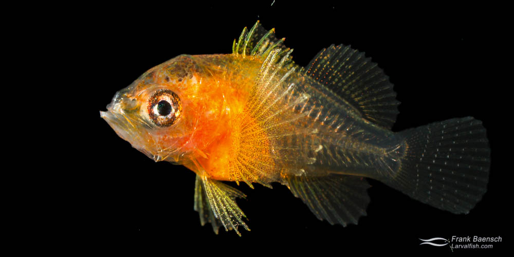 Cultured redblotch perchlet (Plectranthias winniensis).