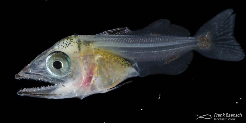 48 | specimen 48 | Scombrid | 4/22/13 | 14 dph  | 12.2 mm