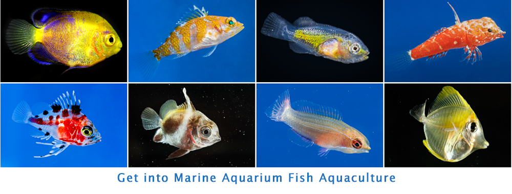 Learn about marine aquarium fish aquaculture and fish larvae