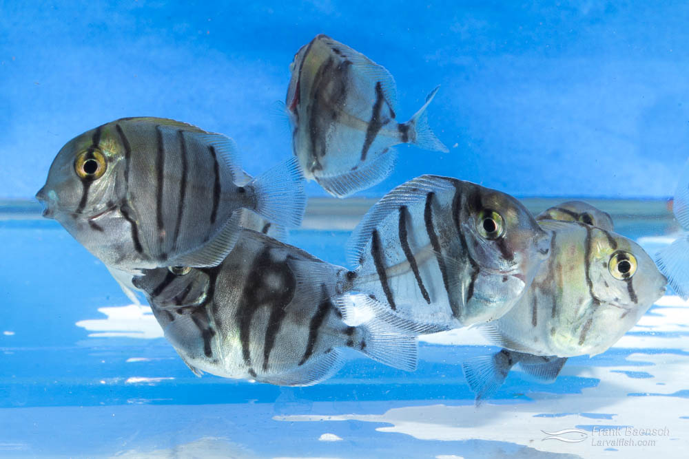 cultured convict tang juveniles