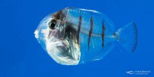 Cultured convict surgeonfish larva tranforming into a juvenile.
