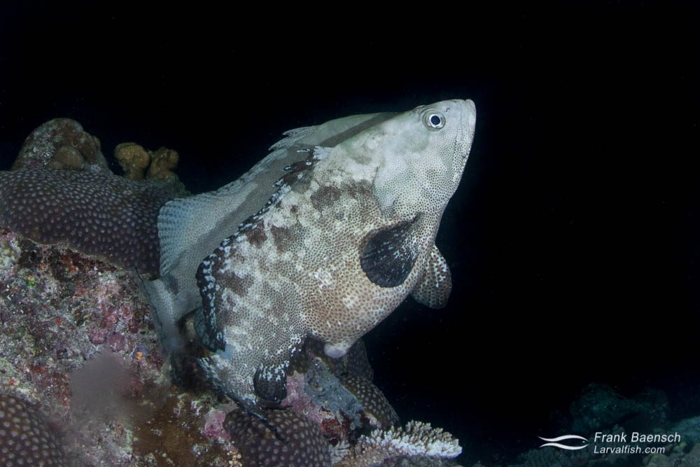 A pair of camouflage groupers (Epinephelus polyphekadion) spawning at night in Palau. Females can easily be distinguished from males by their massively swollen belly filled with hydrated eggs.