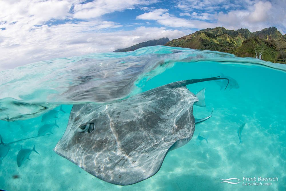 A split photo of a Tahitian stingray  on a sandbar with Moorea's mountains in the background. French Polynesia.