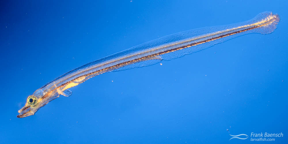 Cultured cornetfish larva (Fistularia commersonii).