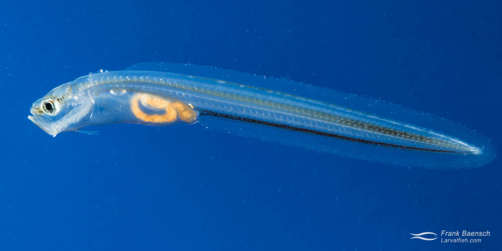 30-day-old blackedge cusk eel larva.