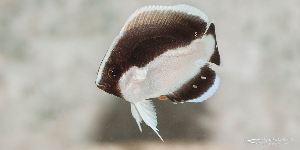 Juvenile bandit angelfish (Desmoholacanthus arcuatus) raised in the laboratory.