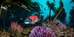 California sheephead (Semicossyphus pulcher).