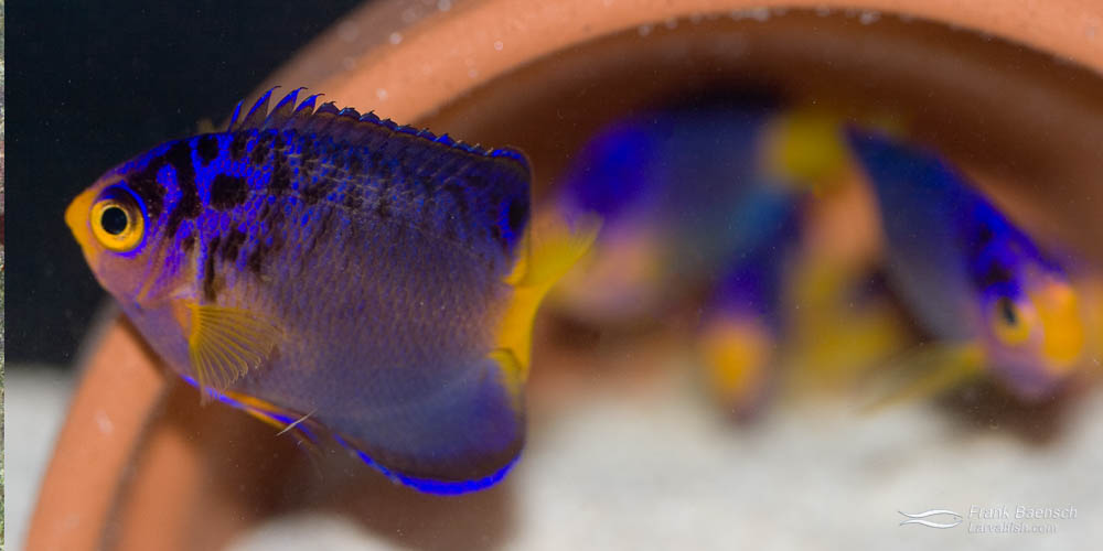 Left: A pair of Debelius Angelfish (female below male).  Right: A 120-day-old juvenile Debelius Angelfish (just past metamorphosis).