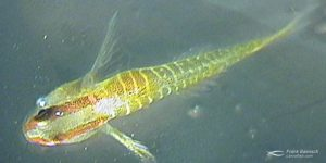 Cultured green-banded goby reared in the laboratory.