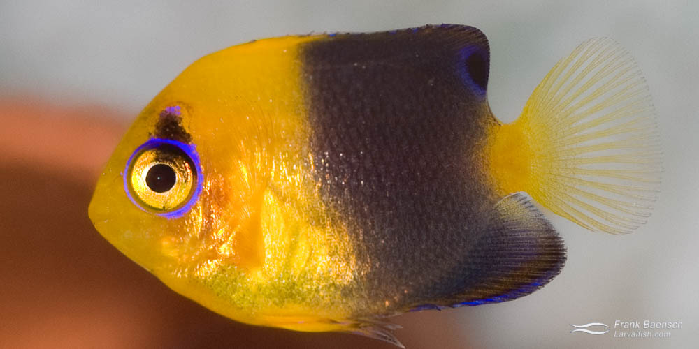Left: A pair of Joculator Angelfish (male below female). Right: A 125-day-old juvenile Joculator Angelfish  (just past metamorphosis)