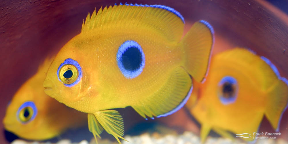 Left: A pair of Lemonpeel Angelfish (male on left).  Right: 80-day-old Lemonpeel Angelfish juveniles in hiding.