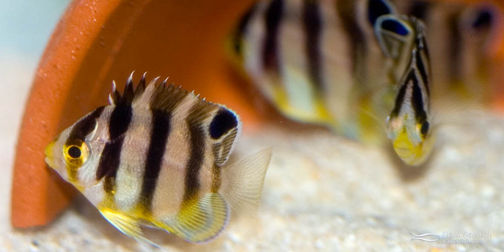 Left: A pair of Multibarred Angelfish.  Right: 45-day-old juvenile Multibarred Angelfish.