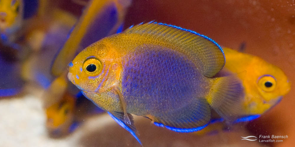 70-day-old juvenile Resplendent Fisher's hybrid angelfish (just past metamorphosis).