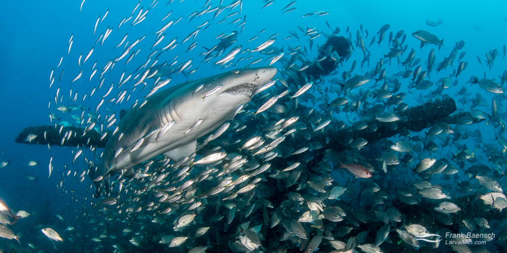 A sand tiger shark (Carcharias taurus) surrounded by tomtates (Haemulon aurolineatum) and round scad (Decapterus punctatus) on a wreck in North Carolina.