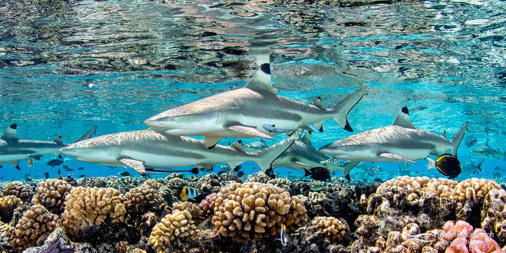 Blacktip reef sharks reflect off the surface  on a shallow reef in Fakarava, French Polynesia.