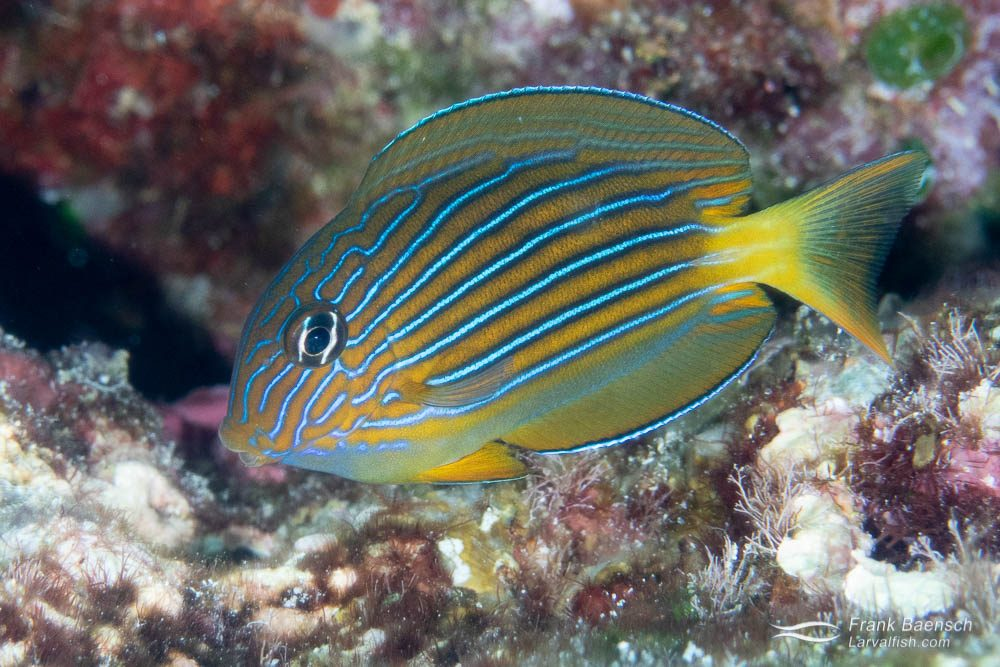 November is larval fish recruitment time in the Solomon Islands and the reefs are loaded with juvenile surgeonfish. Juvenile striped surgeonfish (Acanthurus lineatus) are especially common on open ocean reef flats in less than 3 feet of water. This is one of my favorite Acanthurids. Solomon Islands.