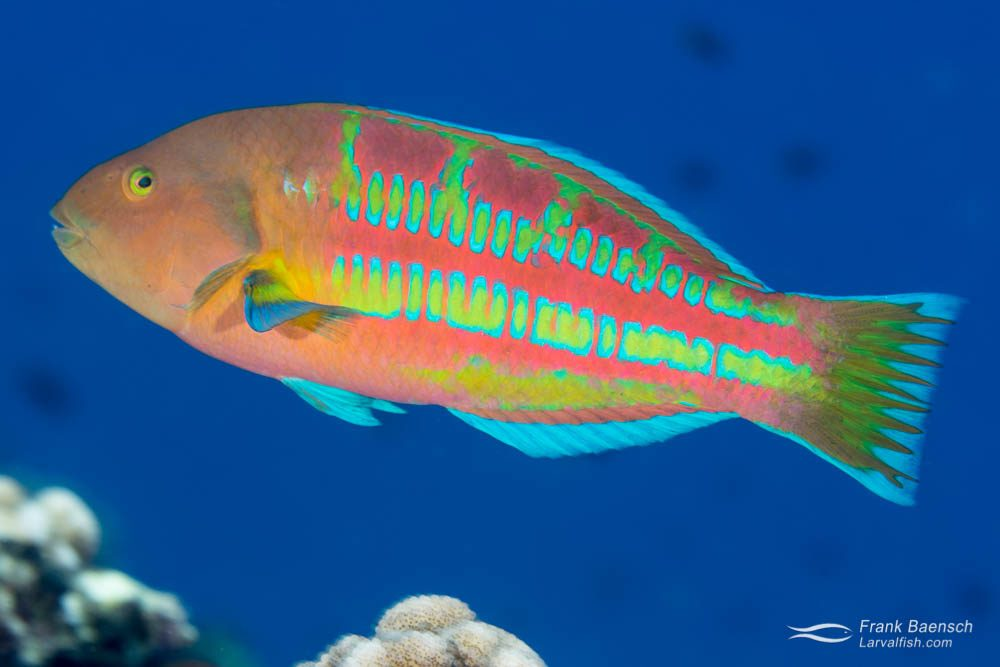 The orange and green/blue colors of this Christmas wrasse (Thalassoma trilobatum) combine in the distance due to the poor spacial resolving power of fish. The resulting color closely matches the blue background, hiding the fish from potential predators.