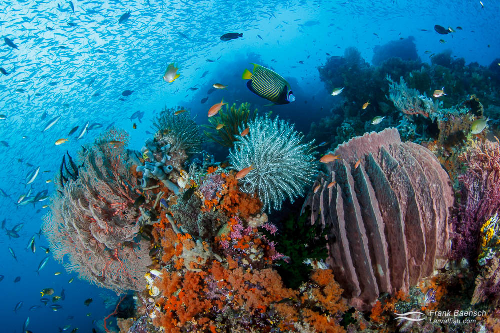 A diverse and flourishing coral reef in Indonesia.