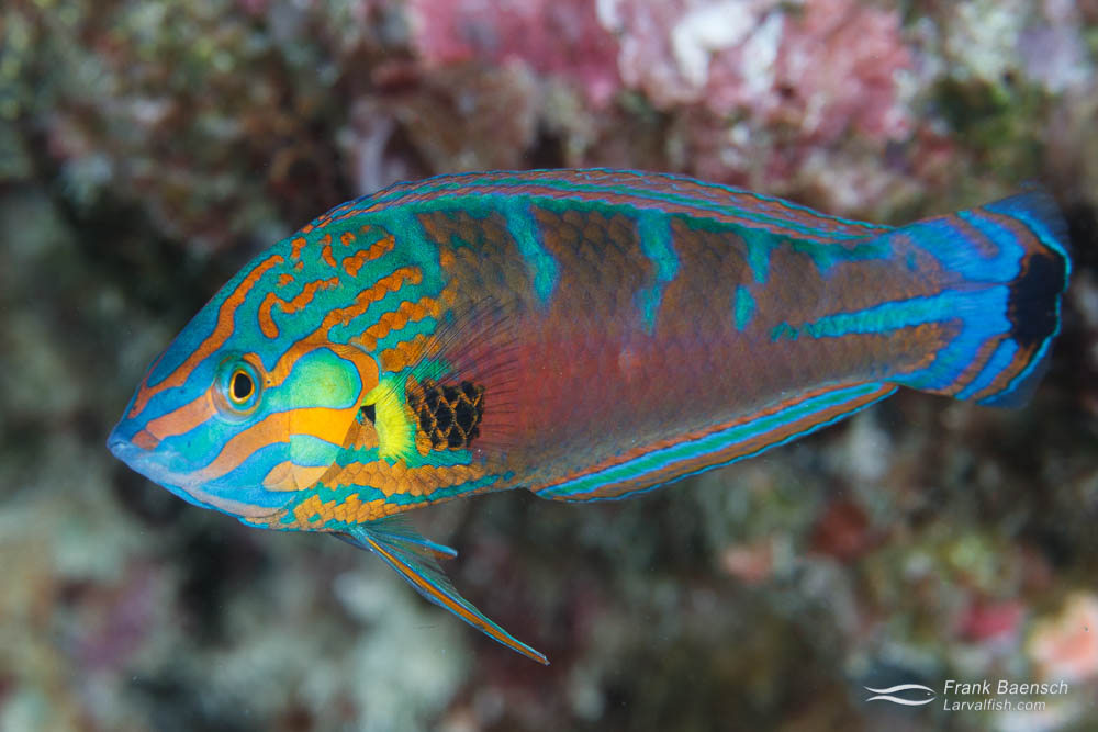 Hoeven's Wrasse (Halichoeres melanurus) intermediate color phase (Indonesia).