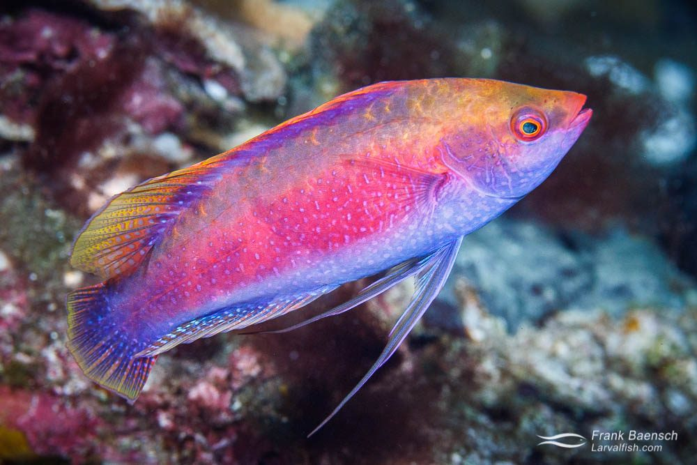 A male Beau's wrasse (Cirrhilabrus beauperryi). Solomon Islands.