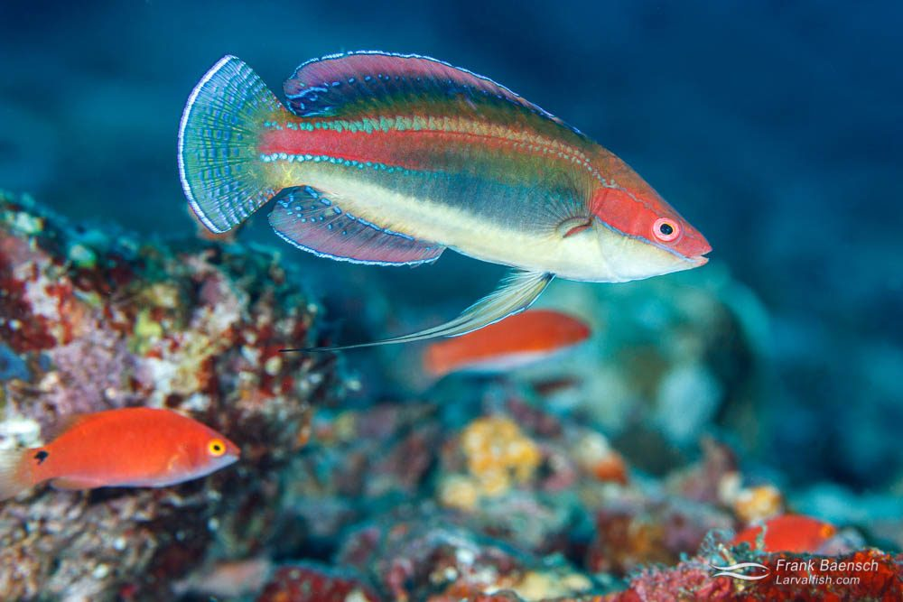 Peacock fairy wrasse  (Cirrhilabrus temminckii)(Philippines).