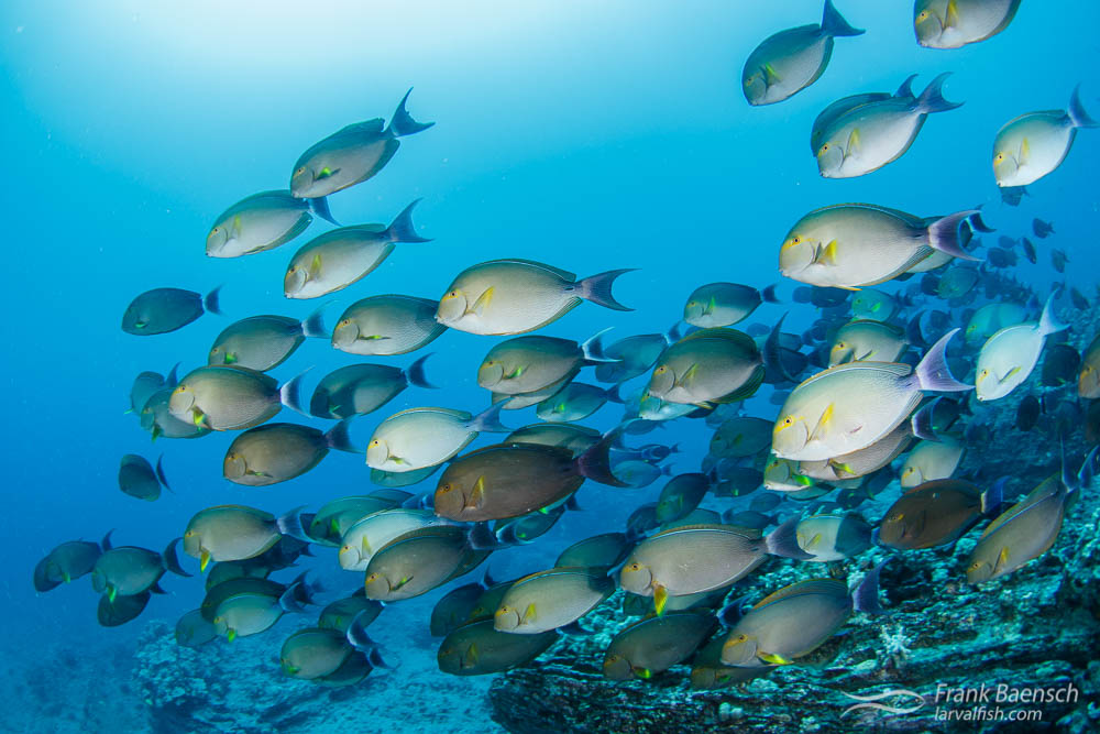Yellowfin surgeonfish (Acanthurus xanthopterus) schooling outside of Haunama Bay, Oahu Hawaii.