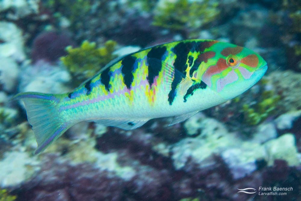 The myriad of colors of this surge wrasse (Thalassoma purpureum) provide camouflage due to the poor spacial resolving power of fish.