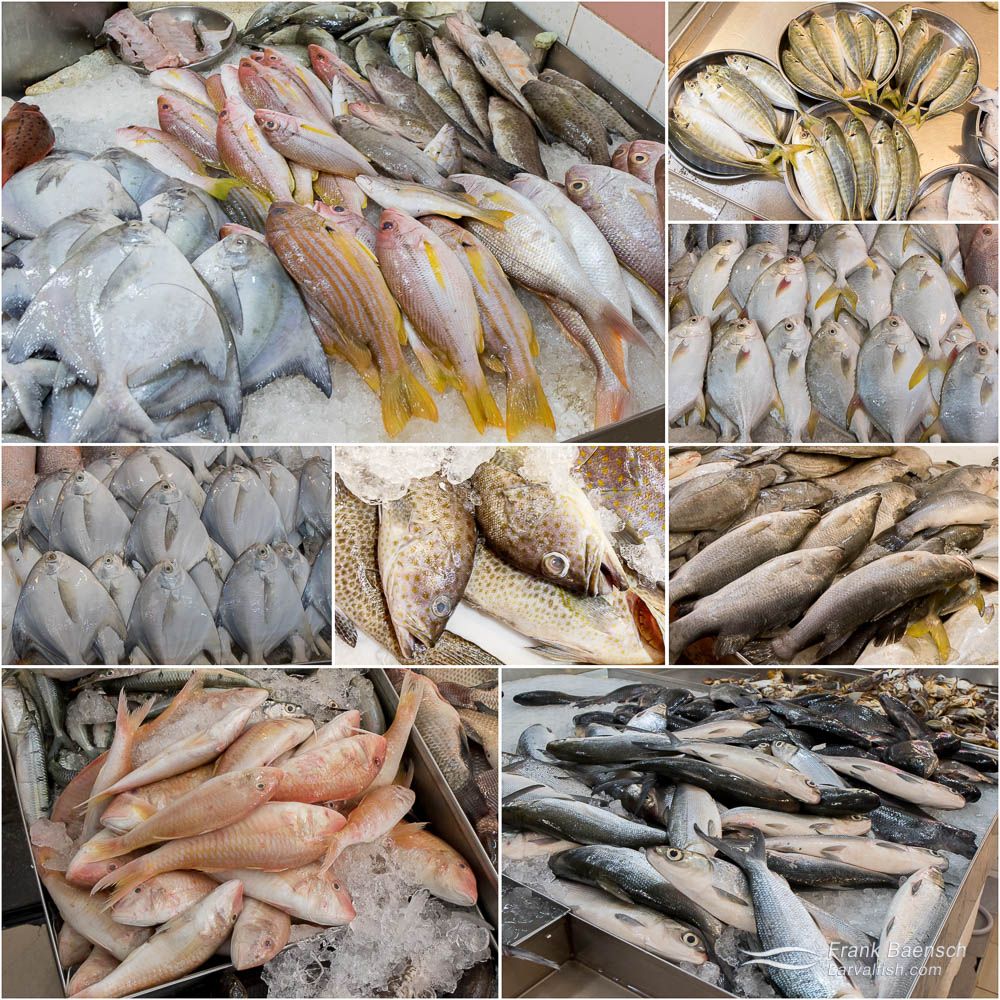 Seafoods to avoid. TL-BR: Pomfret, snapper, rabbitfish and juvenile grouper | Yellowtail scad (Atule mate) | Golden pomfret- farmed in Indonesia | Silver pomfret (Pampus argenteus) -trawled in the South China seas. | Rockfish | Barramundi or Asian sea bass (Lates calcarifer) | Forktailed threadfin bream (Nemipterus furcosus) | Milkfish (Chanos chanos).