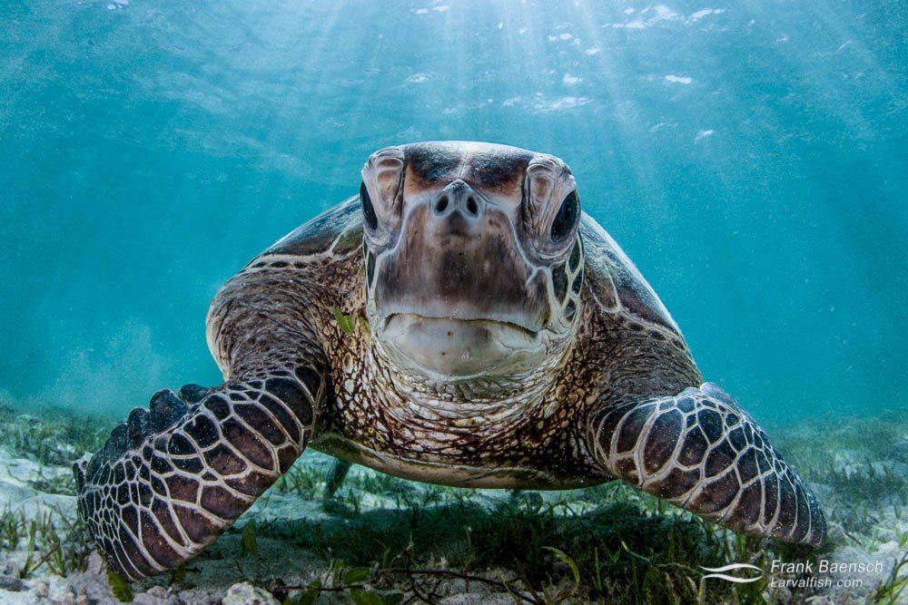 Head on shot of  green turtle (Chelonia mydas). Lord Howe Island.