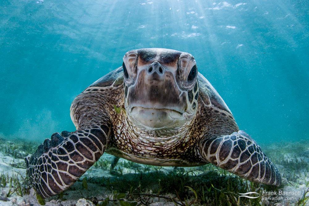 Head on photo of  green turtle (Chelonia mydas).