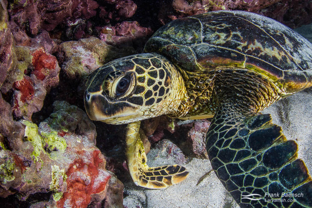 Close up  of a green sea turtle resting in a cave