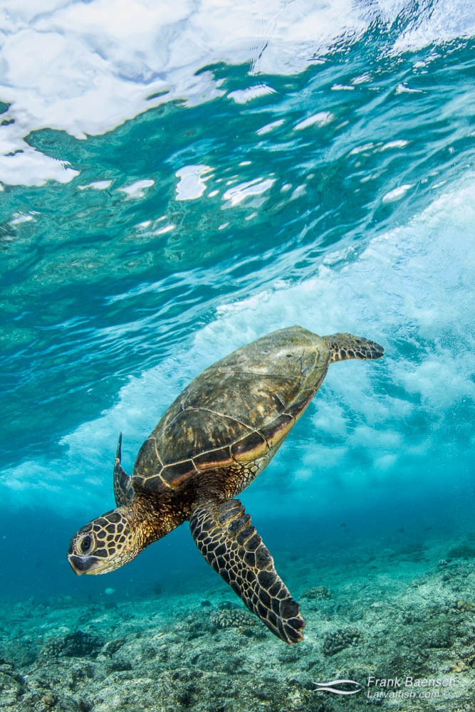 Green sea turtle dives under a breaking wave. Hawaii.