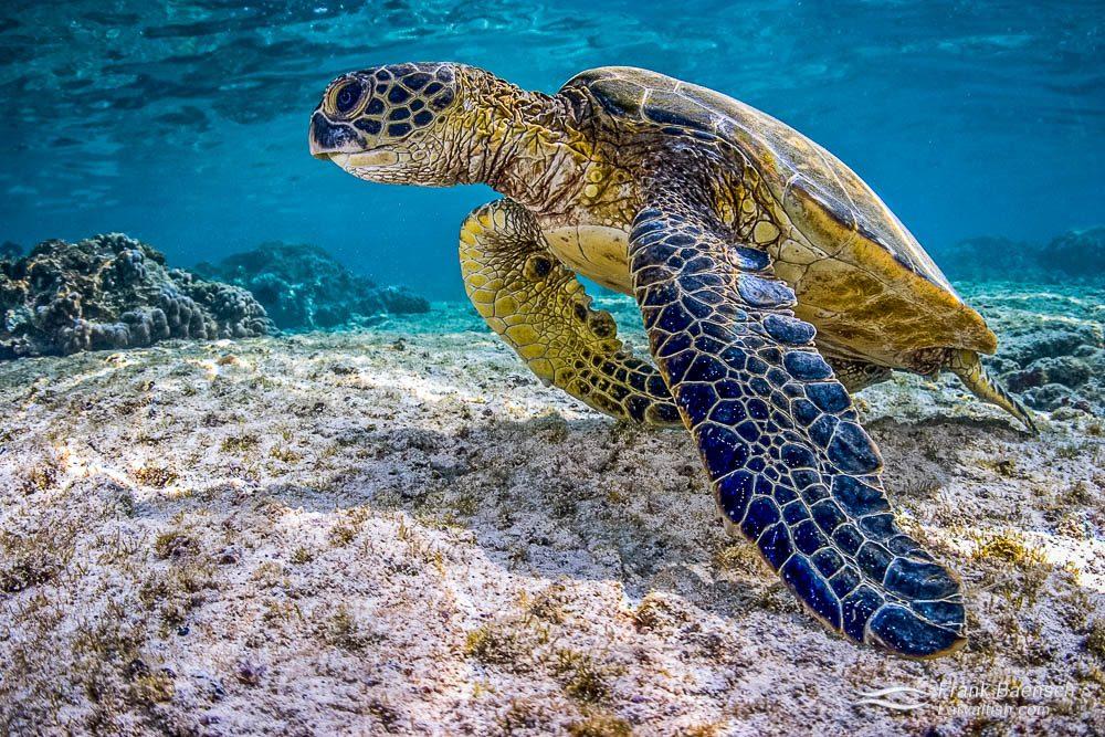 Beautiful green sea turtle portrait