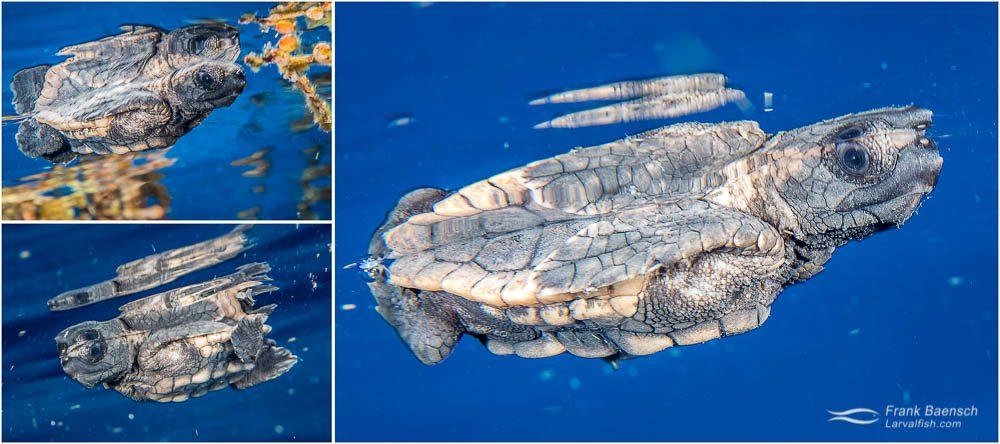 Juvenile Loggerhead turtle