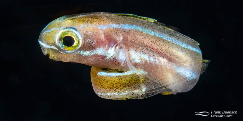 "Bluestriped fangblenny  (Plagiotemus rhinorrhynchos) larva on a blackwater dive in the Solomon Islands. Body length is about 2"", which is much larger  than most blennies at settlement."