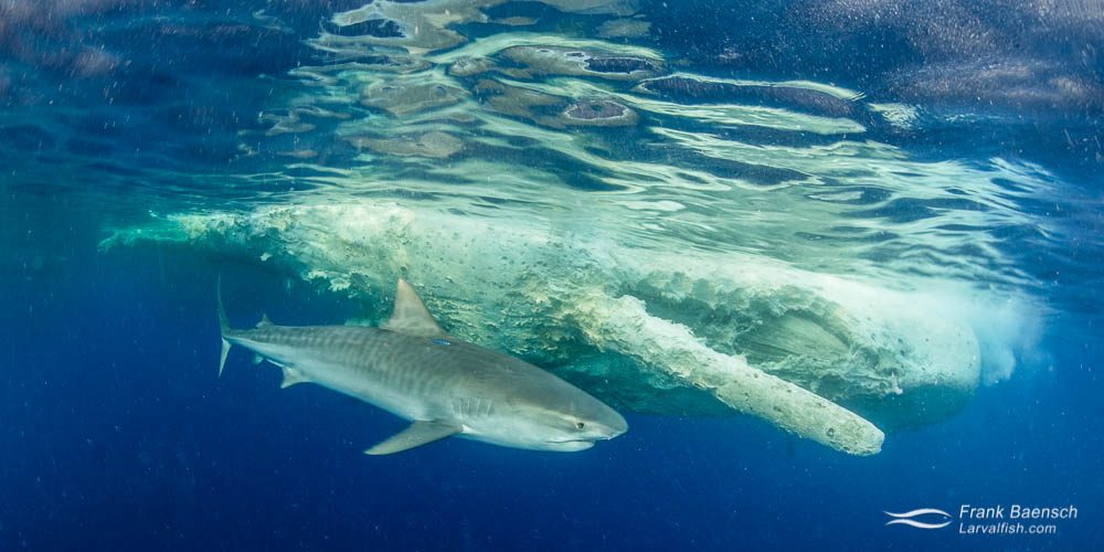A tiger shark (Galeocerdo cuvier) inspects a sperm whale carcass off Oahu, Hawaii. The particles in the water is decaying organic matter from the dead whale.